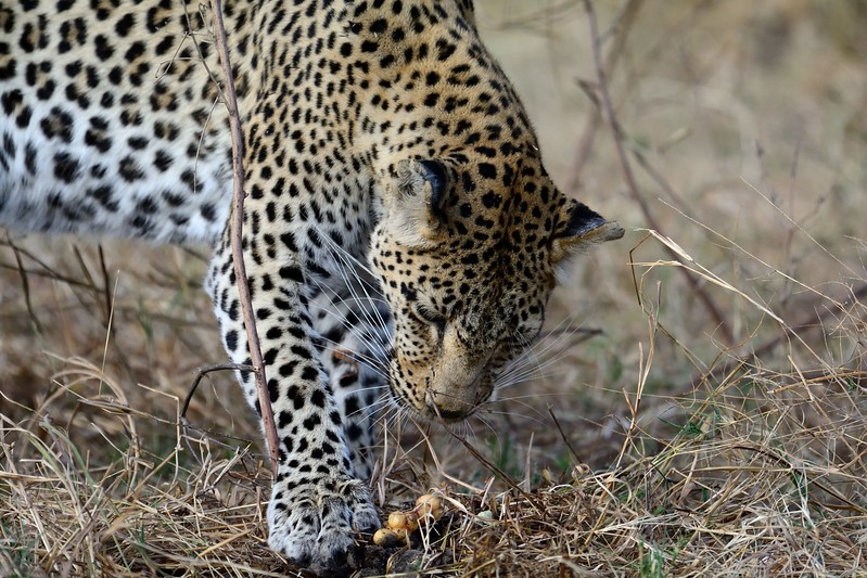 Leopard with Puff Adder Khwai River 16