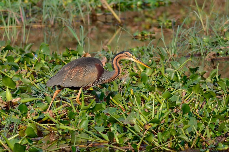 Purple Heron Zambia 1