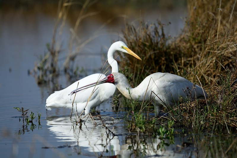 African Spoonbill and Great Egret  Moremi 3a