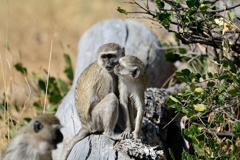 Vervet Monkey Moremi 5