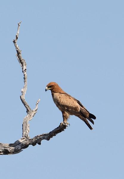 Tawny Eagle savuti 2