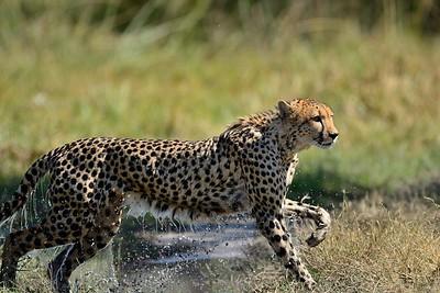 Cheetah Khwai River 2