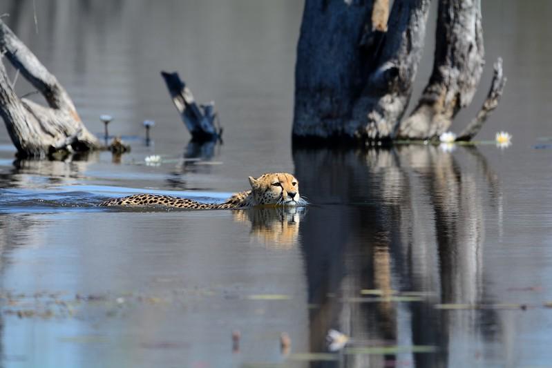 Cheetah Khwai River 15
