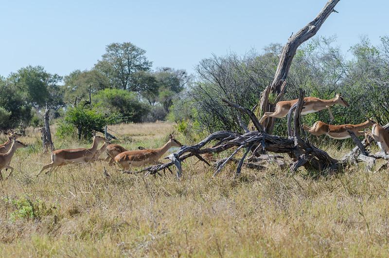 Impala Khwai River Botswana 2