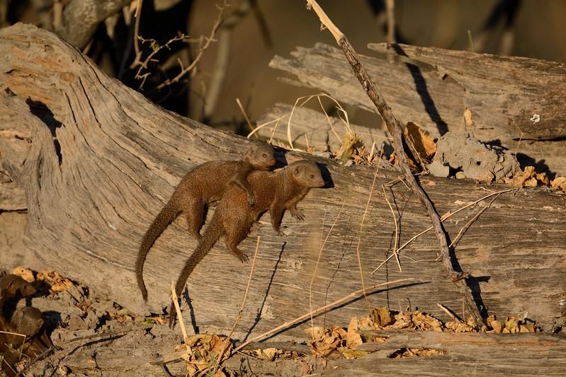 Dwarf Mongoose Khwai River 2
