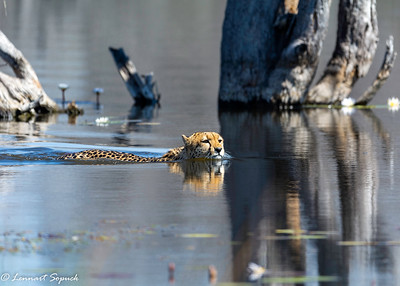 Cheetah Moremi 2611 Sharpen AI (1 of 1)