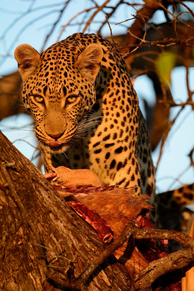 Leopard at kill Moremi Reserve