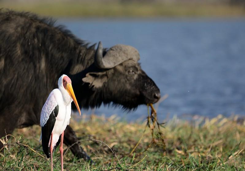 African Buffalo Chobe 8