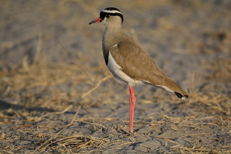 Crowned Plover Moremi 1