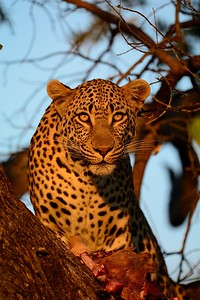 Leopard at kill Moremi 37