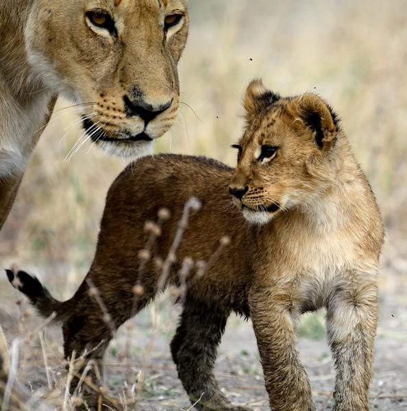 Lion Pride Savuti 104