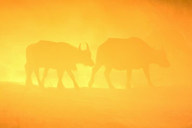 African Buffalo Chobe 3