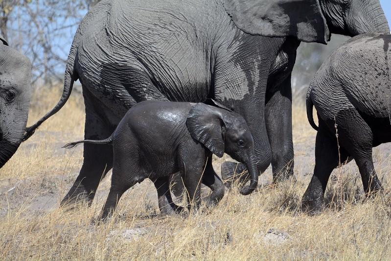 Elephant Savuti 5