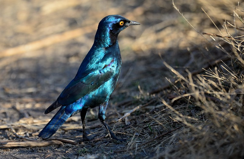 Cape Glossy Starling Moremi 2
