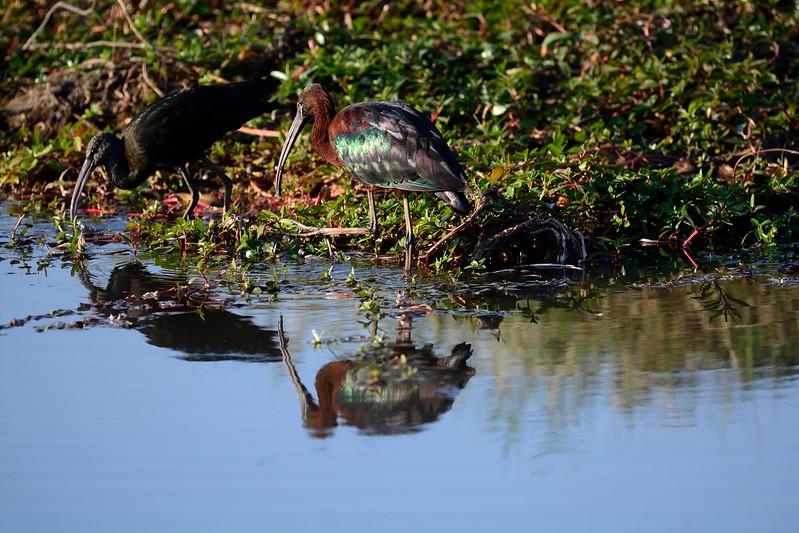 Glossy Ibis Chobe 1