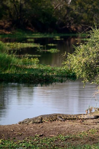 Crocodile Zambia 5