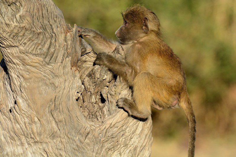 Chacma baboon Chobe 11