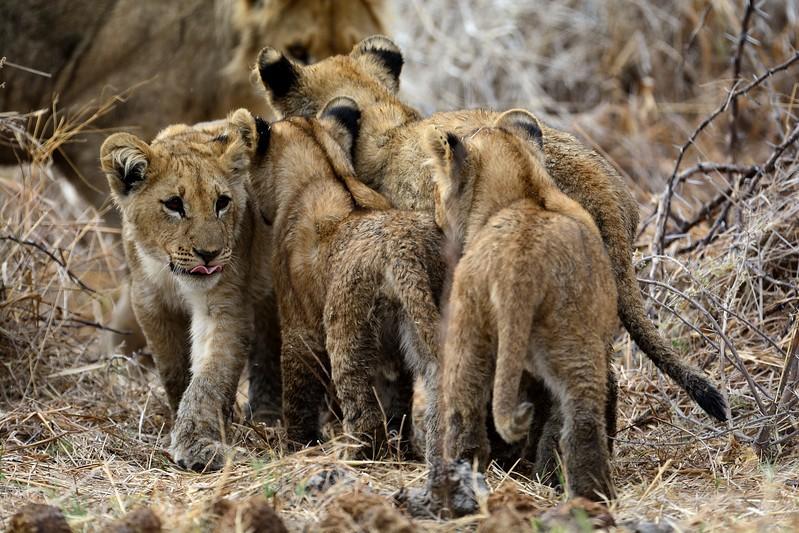 Lion Pride Savuti 119
