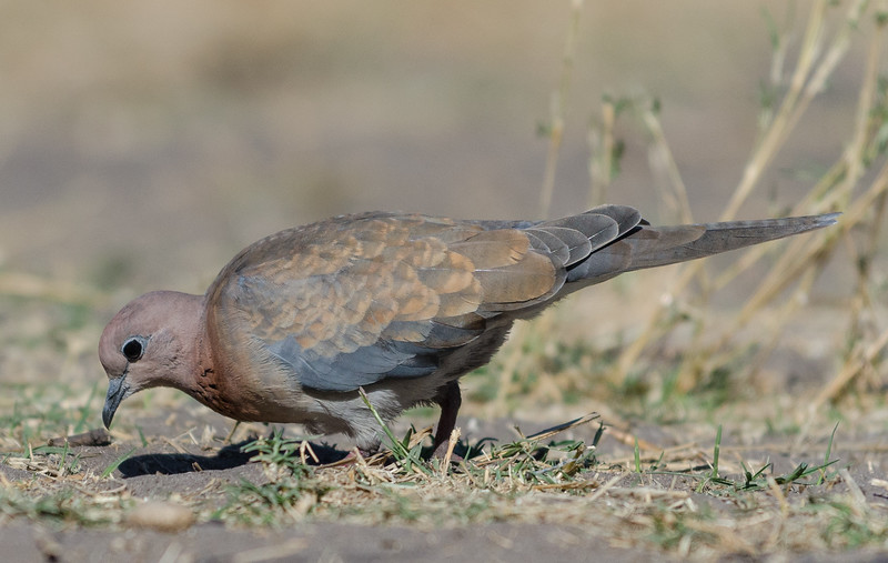 Laughing Dove Savuti Botswana 1