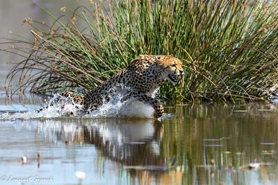 Cheetah Moremi 2620 Sharpen AI (1 of 1)