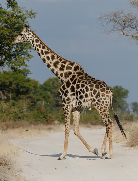 Giraffe Moremi Botswana 1