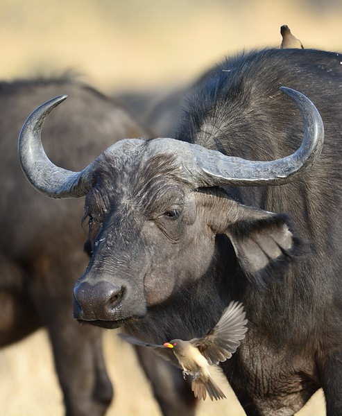 African Buffalo Moremi 1