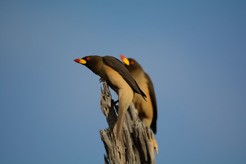 Yellow-billed Oxpecker Moremi 1