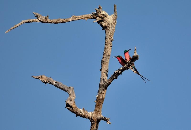 Southern Carmine Bee-eater Chobe 1