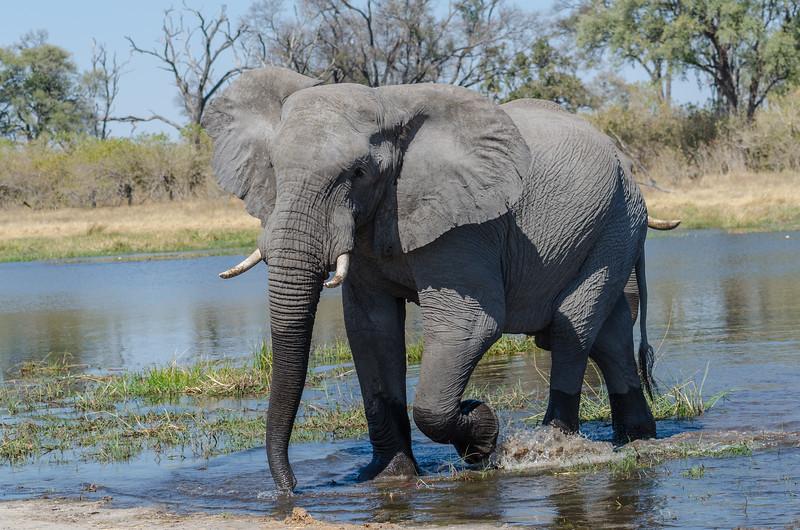Elephants Khwai River Botswana 11