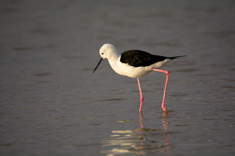 Black-winged Stilt Moremi 3
