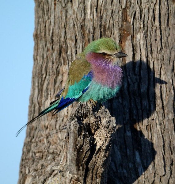 Lilac-breasted Roller Khwai River 2
