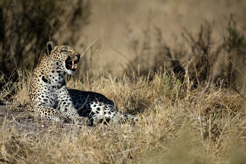 Leopard before snake Khwai River 12
