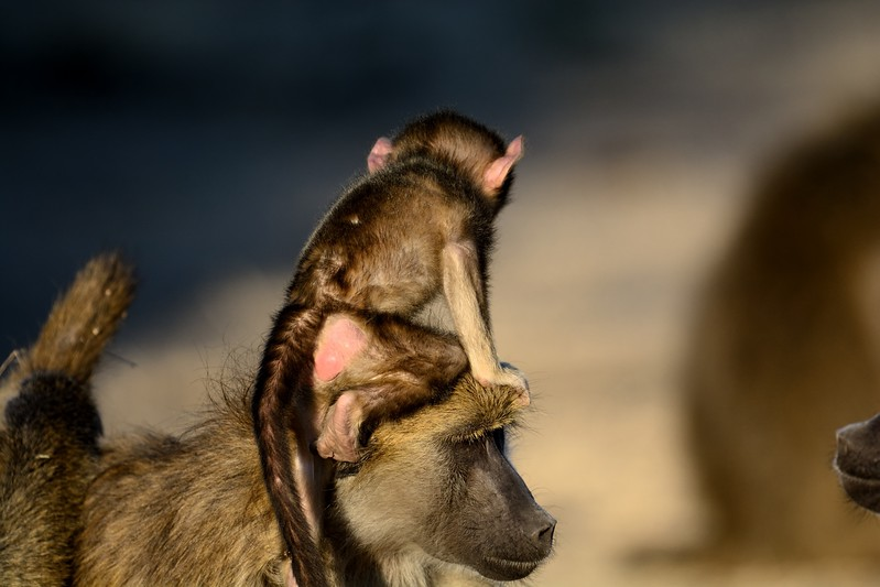 Chacma baboon Chobe 2