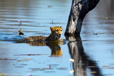 Cheetah Moremi 2616 Sharpen AI (1 of 1)