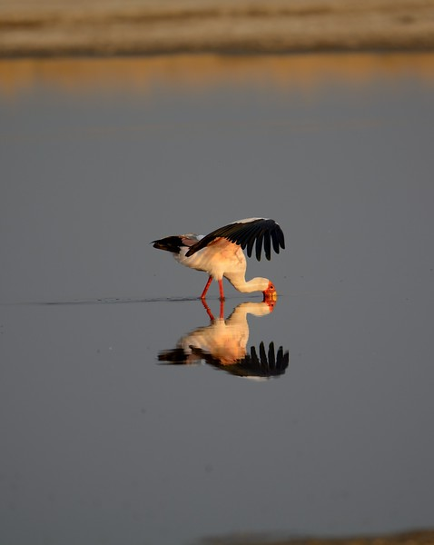 Yellow-billed Stork Moremi 2a