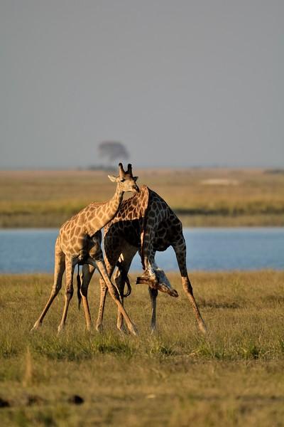 Giraffe Chobe 5