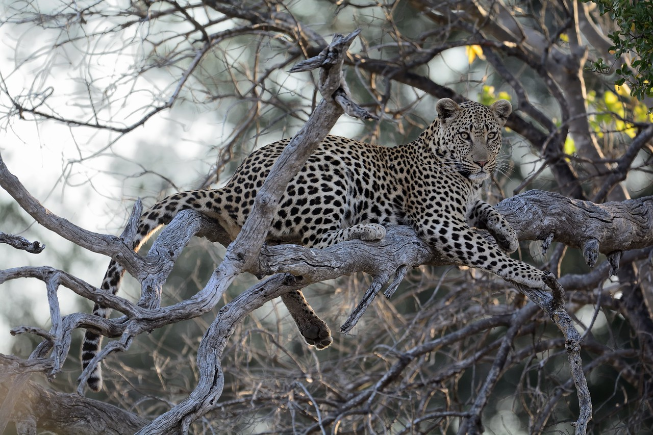 Leopard at kill Moremi 14