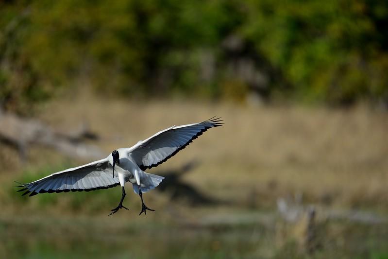 African Sacred Ibis Khwai River 5