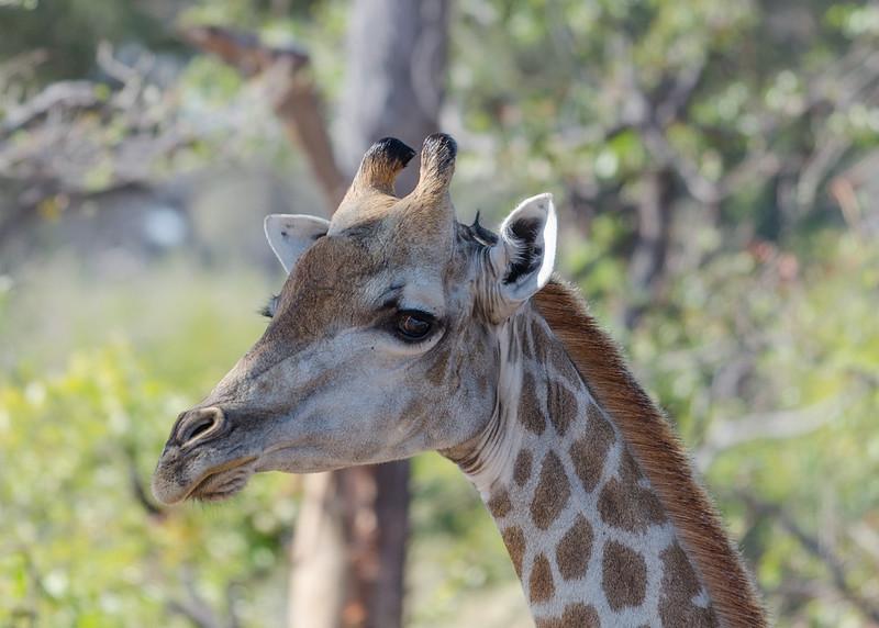 Giraffe Khwai River Botswana 1