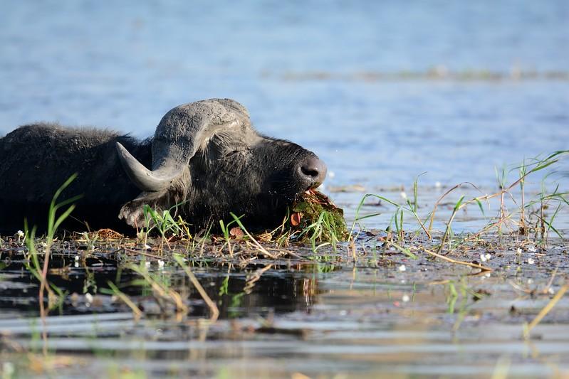 African Buffalo Chobe 11