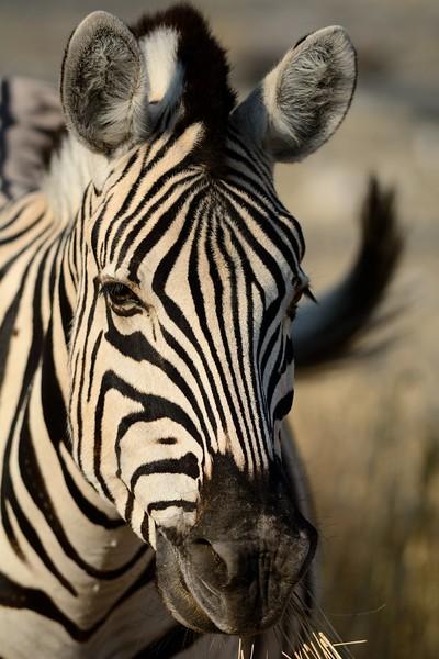 Plains Zebra Etosha 23