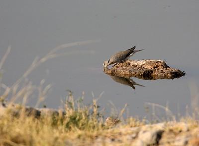 Cape Turtle Dove Etosha 1