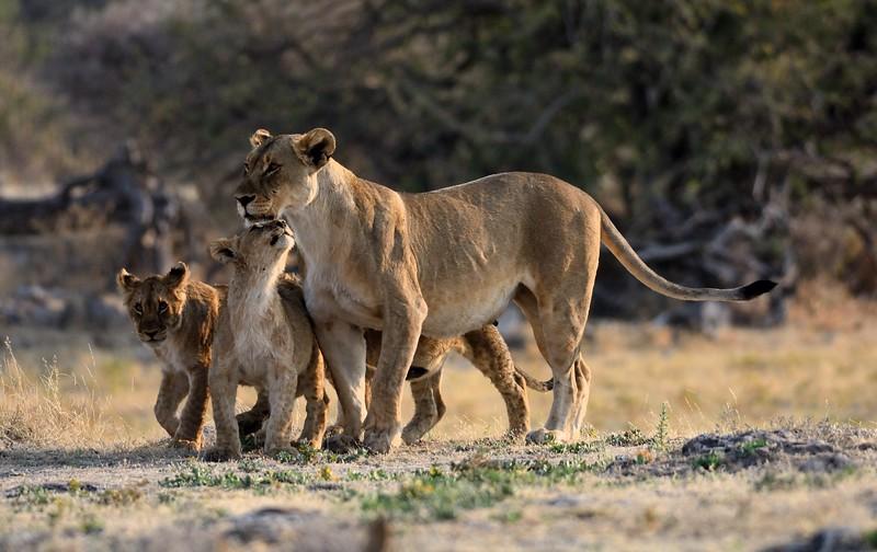 Lion pride Etosha 19