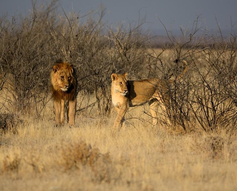 Lions mating again Etosha 9