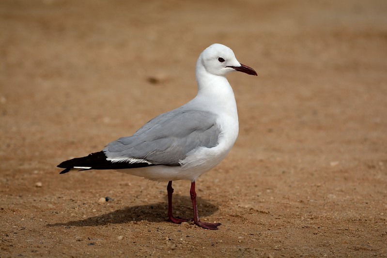 Hartlaubs Gull Cape Cross 1