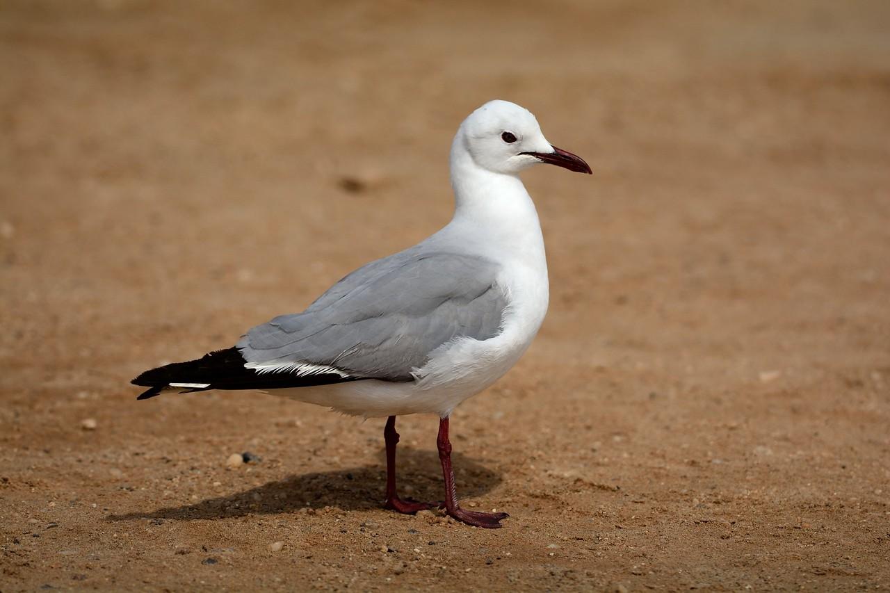 Hartlaubs Gull Cape Cross 1