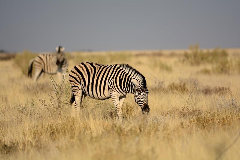 Plains Zebra Etosha 5 - Copy
