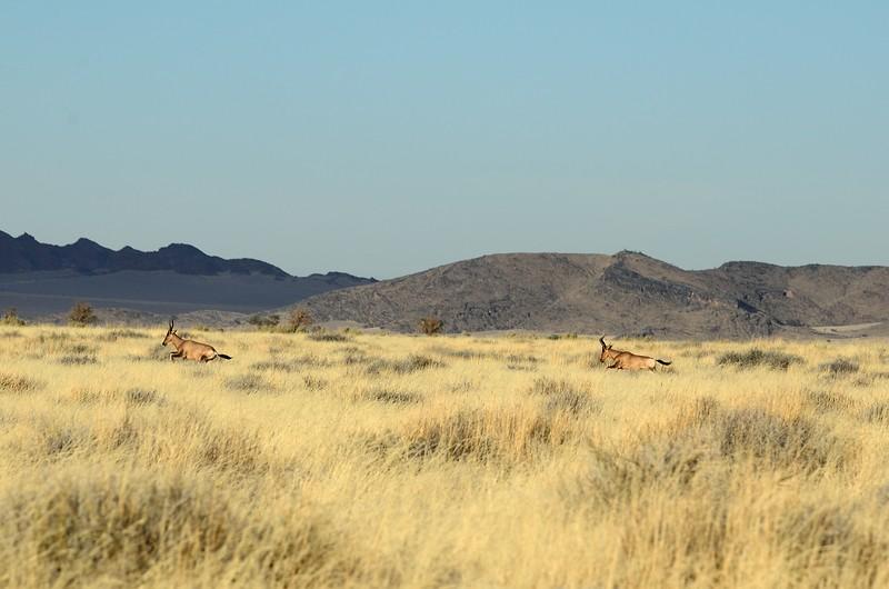 Red Hartebeest Namib Desert 1