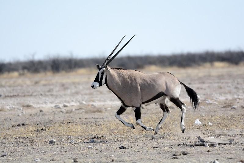 Oryx Etosha 9