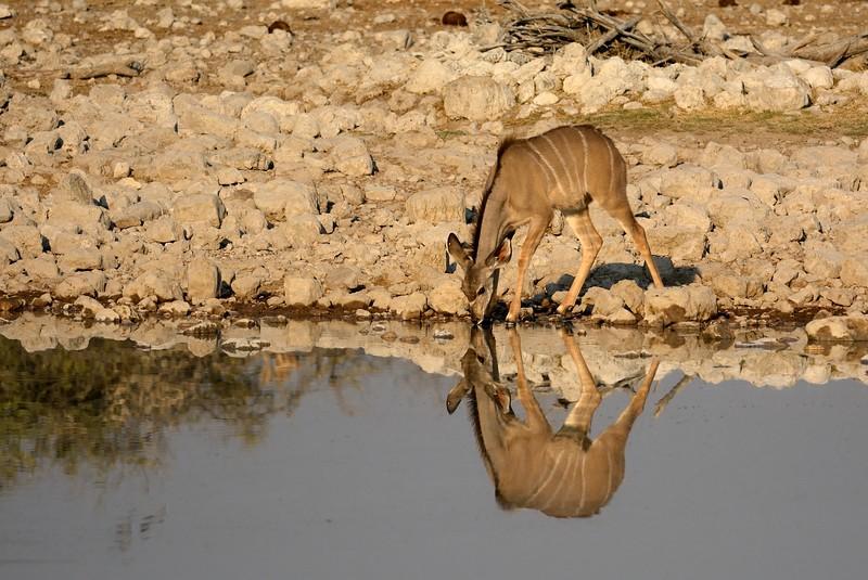 Kudu Etosha 6 - Copy